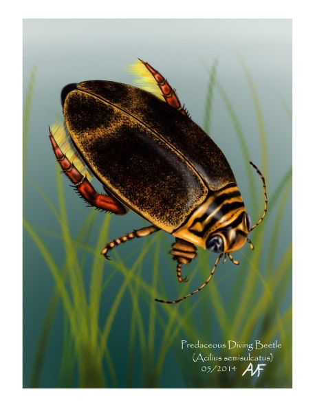 nw_wisconsin_painting_watercolor_diving_beetle_adam_frankiewicz_arts_in_hand
